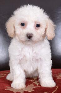 Toy Bichon-Poo Puppies Ready To Go!