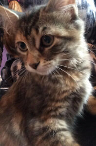 Wee Wendy~Kitten for Adoption! Kawartha Lakes Peterborough Area image 1
