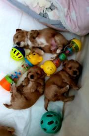 Maltipoo F1 puppies boys PRA Clear
