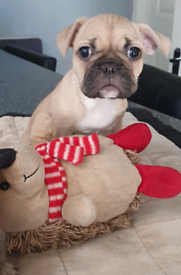 2 BEAUTIFUL FEMALE FRENCH BULLDOG X PUG PUPPIES FOR SALE