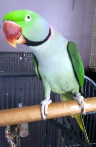 Alexandrine Ringneck Parrot  -  Babies