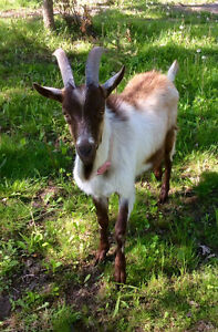 Healthy Billy Goat, Breeding Age - St. Thomas
