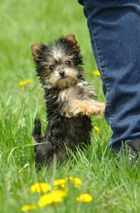 Adorable chiot Morkie