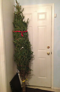 REAL pine Christmas tree - Fir, 226 cm. Nice and tall.