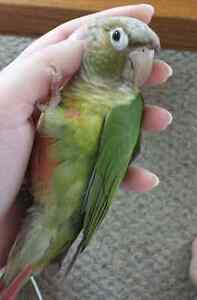Conure Parrot for Trade or Sale