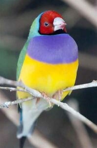 Gouldian Finches for Sale (2 males left)