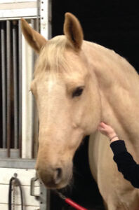 Beautiful Palomino Horse for Lease in Southlands