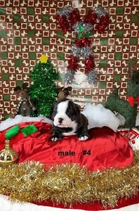 Purebred English Bulldog Puppies - Just In Time For Christmas! London Ontario image 3