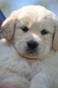 ** Chiot Golden Retriever **