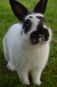 Polish dwarf male rabbit 1 year old -proven breeder