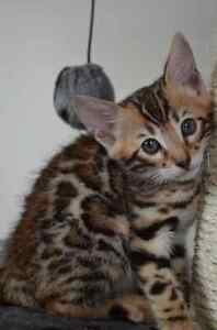 Female Bengal Available (Can be for Breeding)
