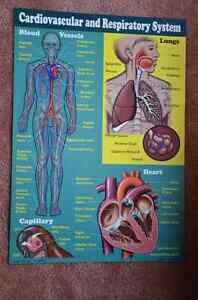 Set of 4 Posters: Human Body Systems Kitchener / Waterloo Kitchener Area image 5