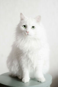 Wanted: white furry fixed female cat