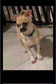 female Chihuahua pup