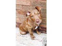 Staffy cross 5 month old puppy for sale