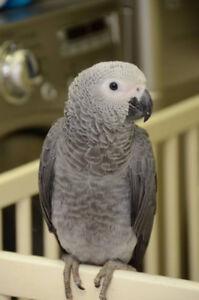 Réservez votre bébé Gris d'Afrique! Baby African grey parrot