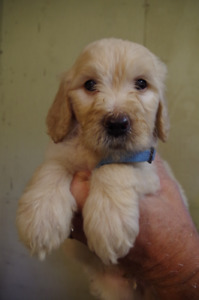 F1 Goldendoodle Puppy for Sale!