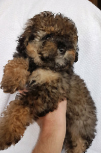 Male Toy Poodle Puppy!