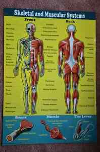 Set of 4 Posters: Human Body Systems Kitchener / Waterloo Kitchener Area image 3
