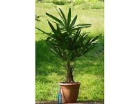 Wimdmill palms (trachycarpus fortunei)