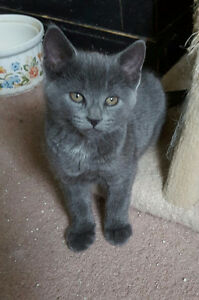 RUSSIAN BLUE / MAINE COON KITTENS- 1 LEFT!