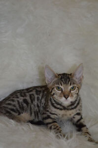 Two females Bengal Breeding Showing