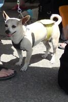 **Sweet Tommy - CHIHUAHUA cross is available for adoption****