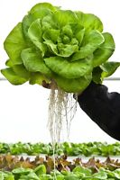Living Lettuce and Produce