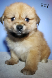 Pomeranian - Lhasa Apso cross puppies