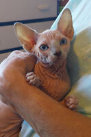Two beautiful SPHYNX kittens available for sale