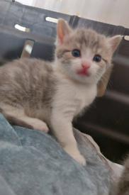 Felis Silvestris Catus Cross Tabby Kittens