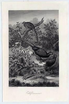 Edel-Fasane-Fasan-Jagd-Wild-Vögel - Kupferstich 1860