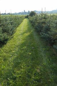 Beautiful Colorado Spruce Trees 6-8 feet tall