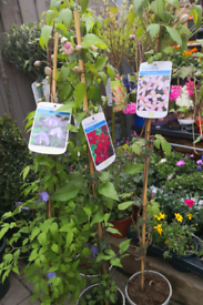 Clematis 3ft flowering perrenial plant