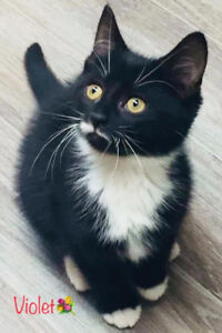 Pretty Violet, Black n White Kitty for Adoption with KLAWS