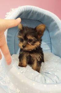 Adorable Tiny/Teacup size Yorkie puppy@Morkie puppies