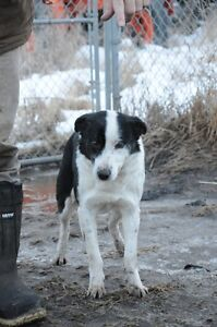Border Collie Male Needing to be Rehomed Strathcona County Edmonton Area image 8