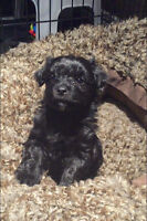 ONE LEFT!!  Purebred HAVANESE puppy for Christmas!!!!