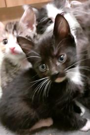 Black brown kitten