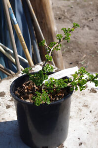 Ginko Biloba-14 varieties for sale-buy from a local grower