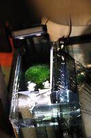 Chaeto/Chaetomorpha algae