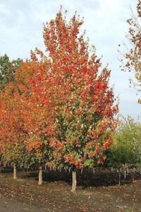 TREES, Mature Trees (Birch, Red Maple, Sugar Maple, Red-Oak, White Spruce, White Pine)