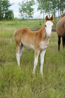 FLASHY ANGLO FRIESIAN FILLY