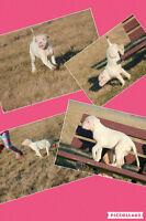 American Bulldog pups
