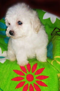 Little malti-poo for sale - à vendre