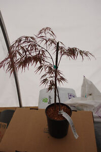 4 Varieties of Japanese Maple-buy from a local grower