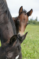 THOROUGHBRED MARE WITH COLT