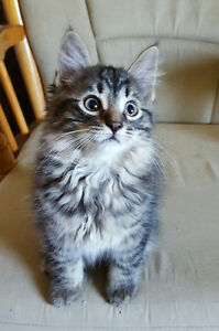 GORGEOUS MAINE COON X KITTENS - 2 LEFT!