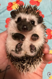 Registered Pedigreed Hedgehog Babies