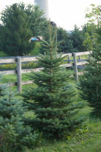 Lovely Colorado Blue Spruce Trees 6-9 feet tall